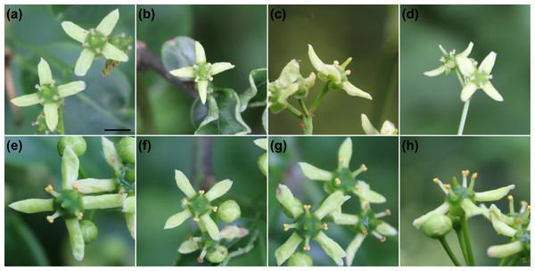 Flowers of Euonymus europaeus.