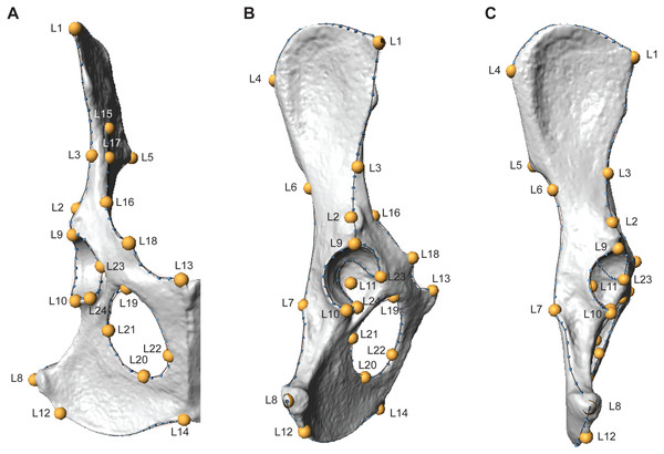 Three-dimensional landmarks are shown in ventral (A), lateral (B), and dorsal (C) views on a fox (Vulpes Vulpes) os coxae.
