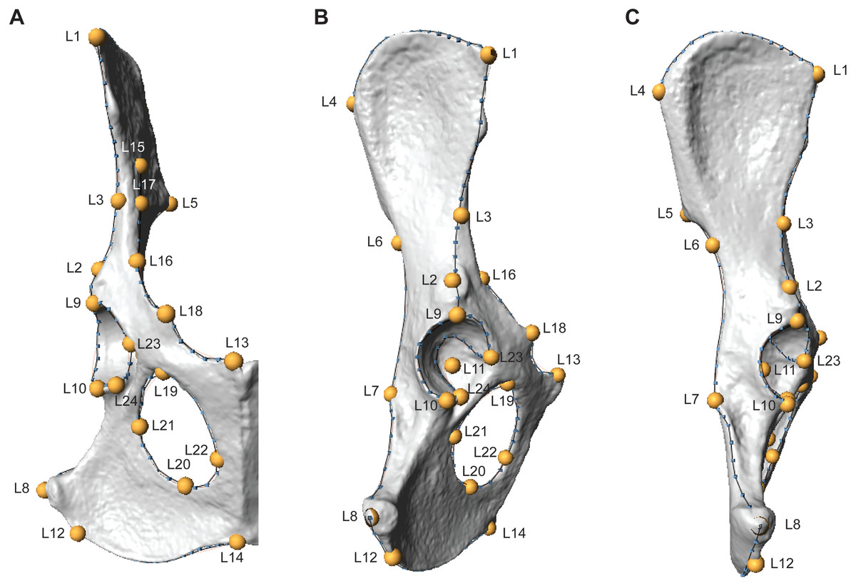 The Effects Of Phylogeny Body Size And Locomotor