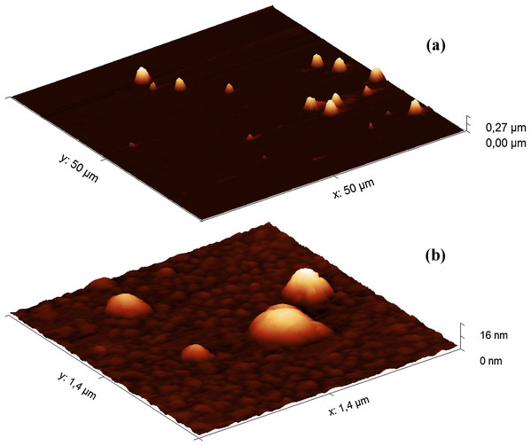 AFM images (obtained in tapping mode) of the Hyaluform HA-based filler: (A) 50 × 50 μm field; (B) 1.4 × 1.4 μm field.
