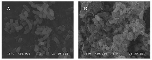 SEM micrographs of HM7.