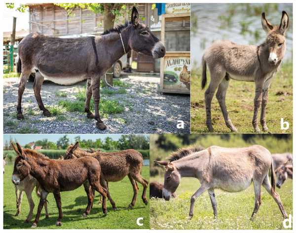 Photos of the Banat donkey female (A) and foal (B), a potential hybrid between Banat and Balkan donkey (C), and Balkan donkey (D). Photo credit: I. Stanivuković.