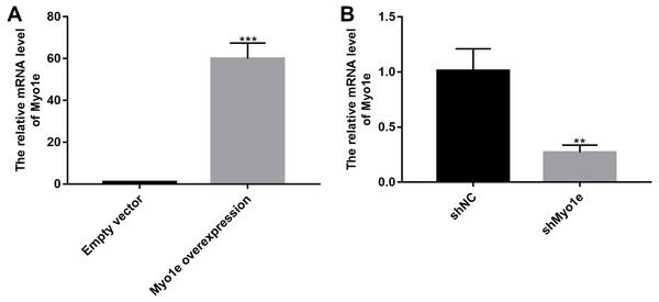 The effects of Myo1e overexpression or knockdown.
