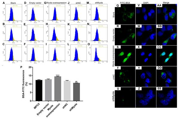 Overexpression of Myo1e enhances MPC5 glomerular podocyte endocytosis BSA.