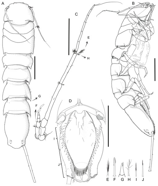 Macrostylis metallicola n. sp. holotype ♀ 879 (SMF 50941) digitized pencil drawings of habitus.