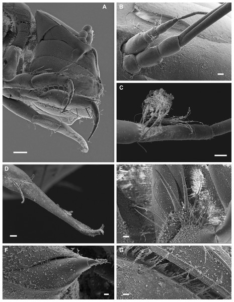 Macrostylis metallicola n. sp. paratype ♀ 301 (SMF 50945), scanning electron microscopy (SEM) images.