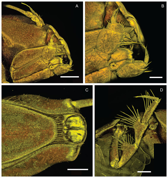 Macrostylis metallicola n. sp. holotype ♀ 879 (SMF 50941), confocal laser scanning microscopy (cLSM) images.