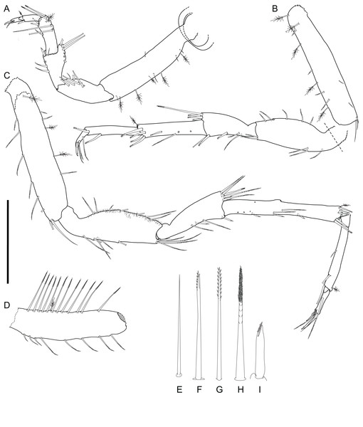 Macrostylis metallicola n. sp. holotype ♀ 879 (SMF 50941), digitized pencil drawings of posterior pereopods in lateral view.