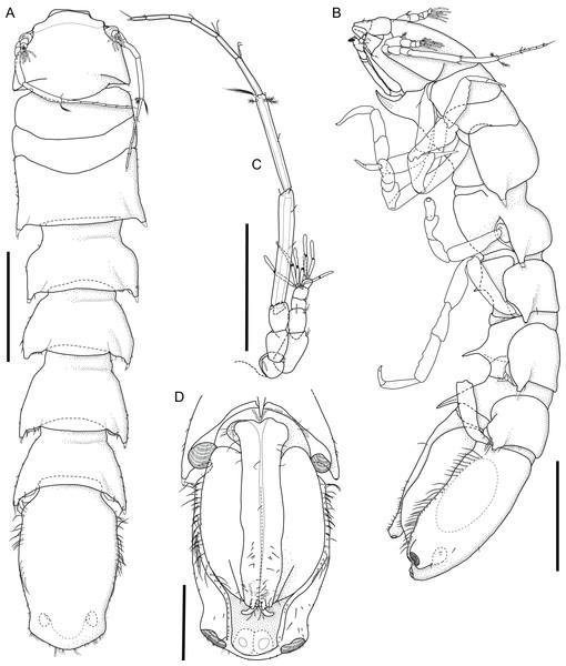 Macrostylis metallicola n. sp. paratype ♂ 1242 (SMF 50942) digitized pencil drawings of habitus.