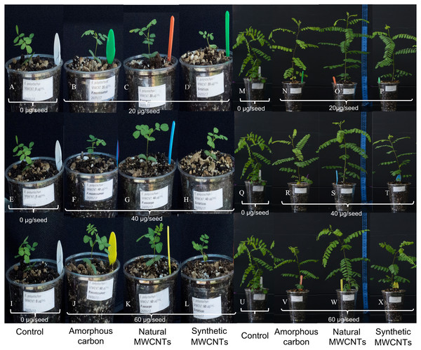 Images showing the effect of synthetic MWCNTs, carbon amorphous and natural MWCNTs on growth of Eysenhardtia polystachya.