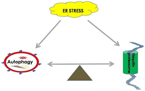 ER homeostasis can be achieved by balancing the UPS and autophagy pathways during ER stress.