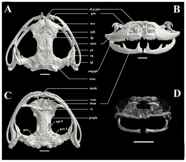 Skull of Phyllodytes magnus sp. nov.