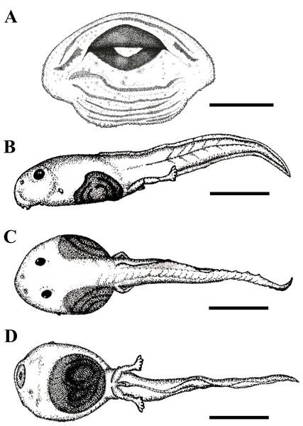 Tadpole of Phyllodytes magnus sp. nov.