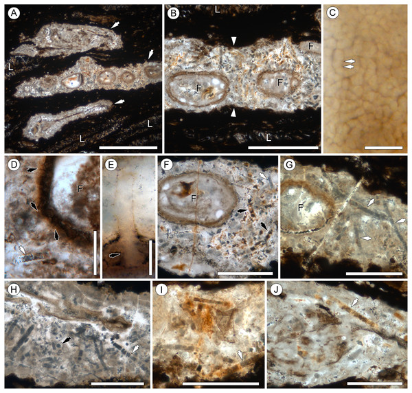 Overview of Endochaetophora antarctica hyphal masses and Palaeolyngbya sp. in permineralized peat.