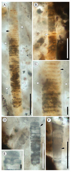 Details of Palaeolyngbya sp. filaments.