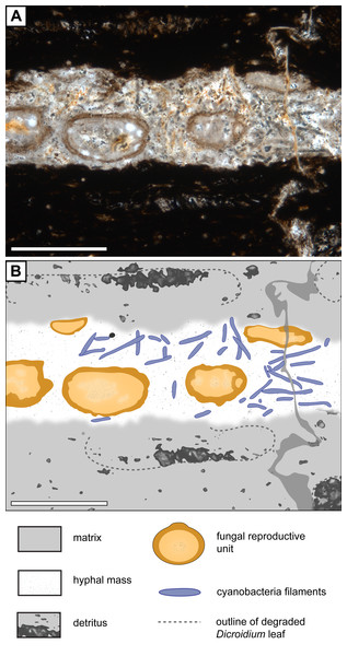 Association of Endochaetophoraantarctica with Palaeolyngbya sp. in permineralized peat.