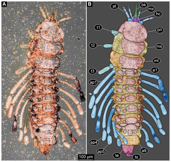 New fossil larva, dorsal view.