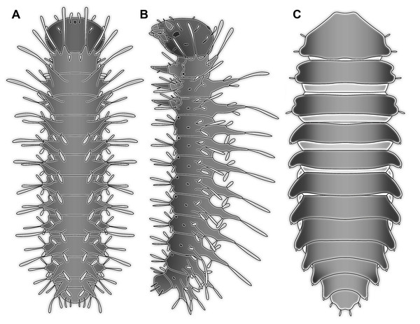 Larvae for comparison, redrawn from the literature.