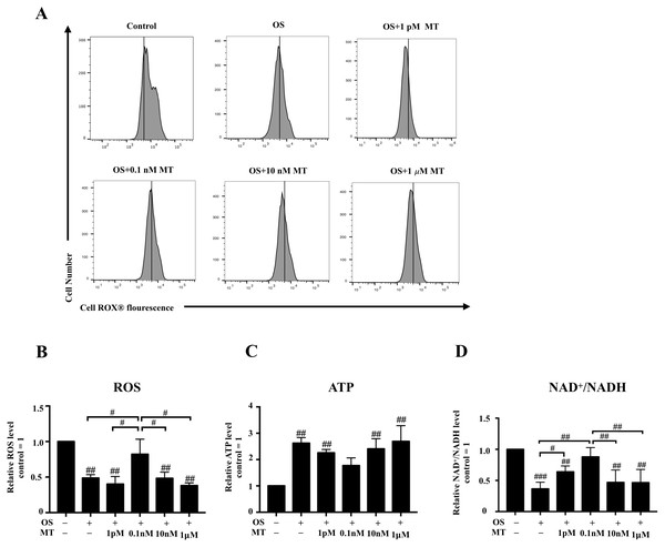 Effect of MT on mitochondrial respiratory function in hPDLSCs during osteogenic induction.