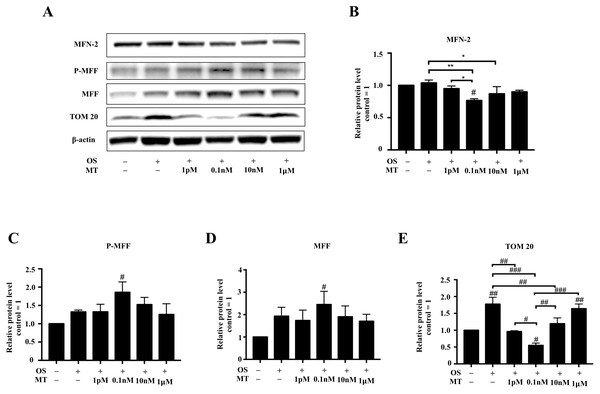 Effect of MT on mitochondrial dynamics within hPDLSCs osteogenic induction.