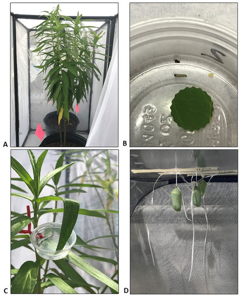 Photographs of swamp milkweed (Asclepias incarnata) in screened terraria during Experiment 1 (A), newly hatched monarch larva in cup with 1 cm leaf disc from milkweed plant (B), cup attached to milkweed plant (C), and pupae harvested from one of the replicate terraria (D).