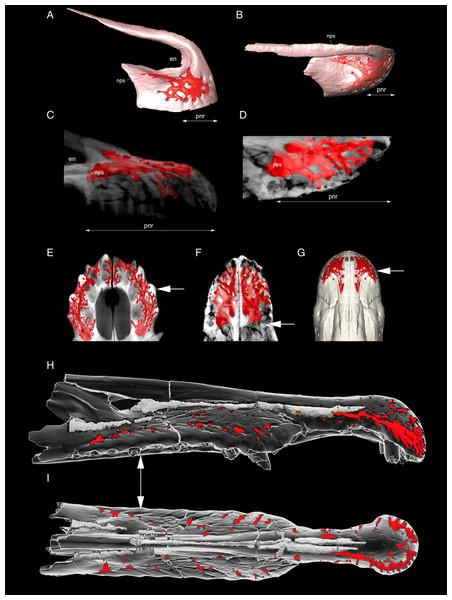 Development of the premaxillary neurovascular plexus in some archosaurs.
