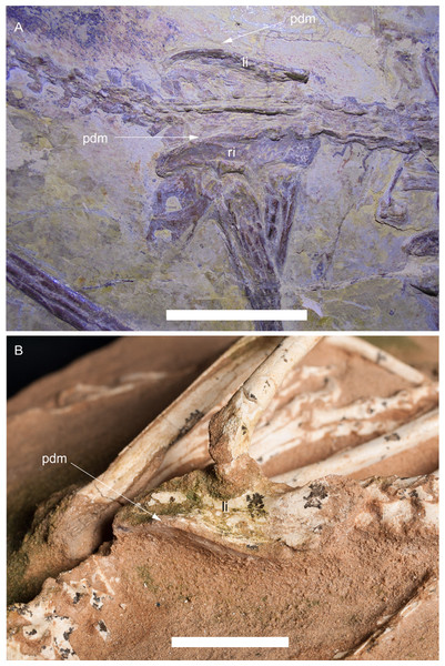 Development of the supratrochanteric process in the paravian theropods Aurornis xui YFGP-T5198 and Halszkaraptor escuilliei MPC D-102/109.