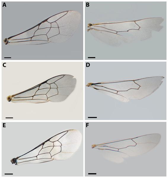 Wings of X. sororitatis n. sp. and X. farellones.