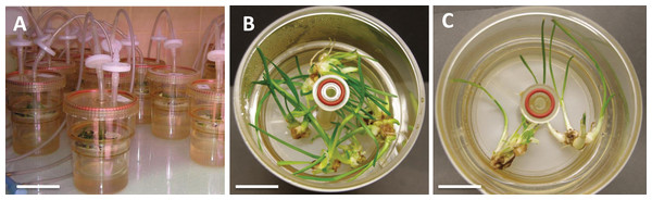 L. aestivum plants after 4 weeks of cultivation in bioreactor RITA®.