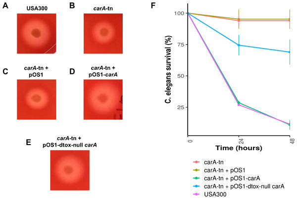Impact of carA on hemolysis and virulence of S. aureus in C. elegans.