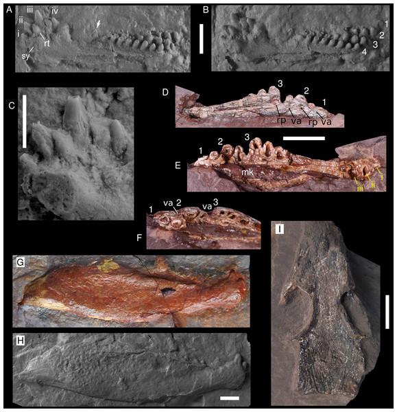 Captorhinids from the Pedra de Fogo Formation.