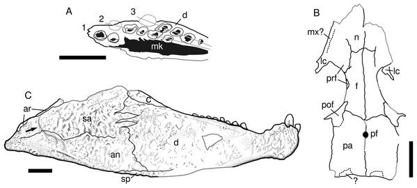 Captorhinids from the Pedra de Fogo Formation, interpretative drawings.