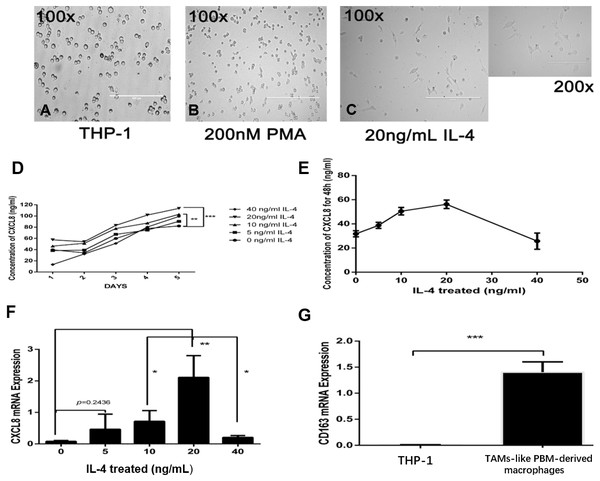 IL-4-induced TAM-like PBM-derived macrophages can secrete CXCL8.