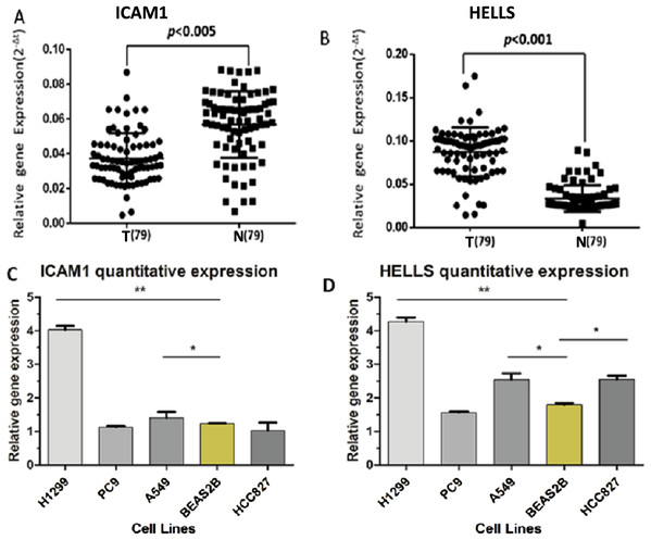 The expression levels of ICAM1 and HELLS in the lung cancer samples and the lung cancer cells.