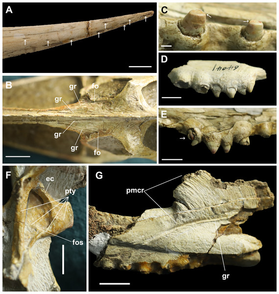 Details on the skull of Dsungaripterus.
