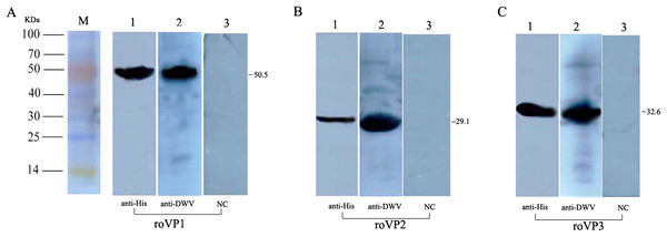 Western blot identification of the recombinant proteins with the anti-His tag antibody and mouse anti-DWV polyclonal antibody.
