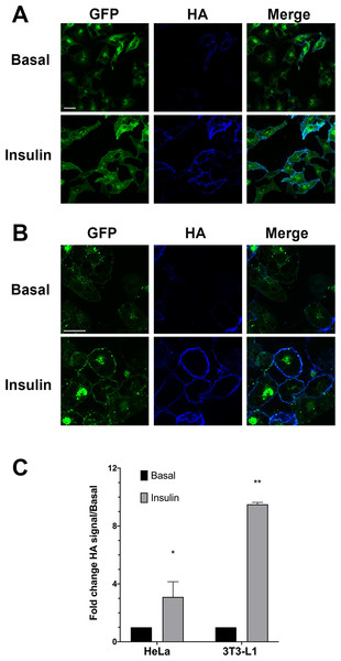 HA–GLUT4–GFP translocation in HeLa cells and 3T3-L1 adipocytes.