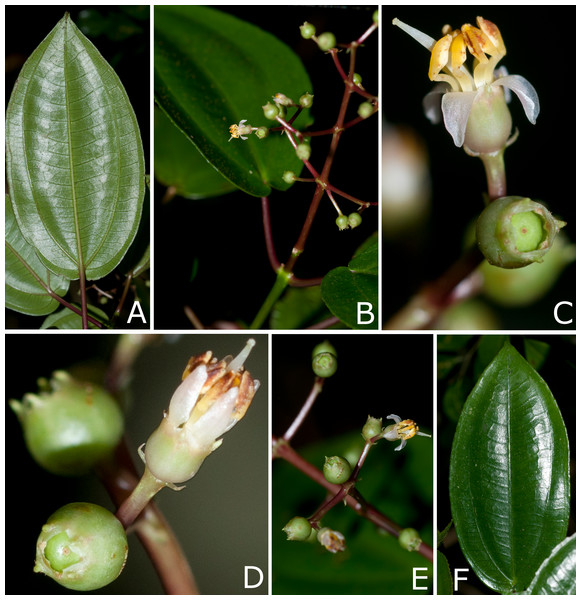 Photos of living plants of Miconia lucenae.