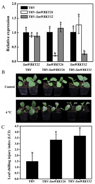 Silencing SmWRKY26 and SmWRKY32 enhanced the sensitivity to cold stress in eggplant.