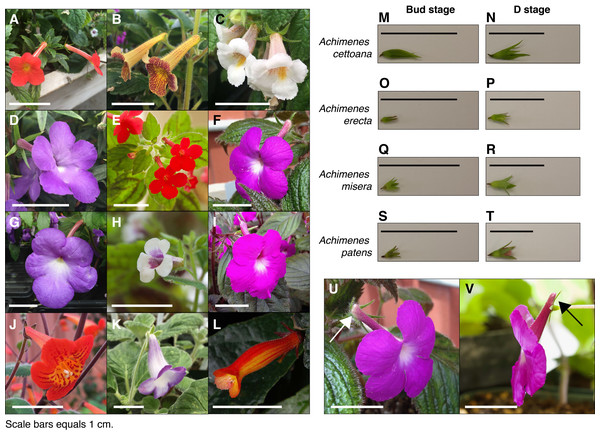 Achimenes flowers and the sampled developmental stages.
