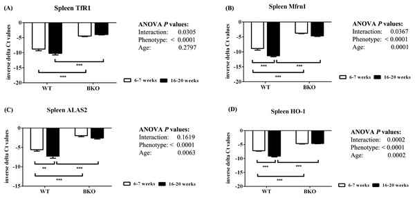 The expression of genes involved in hemoglobin biosynthesis and degradation in the spleen of wild type and thalassemic mice.