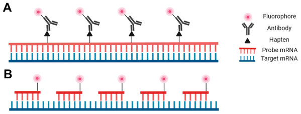 Schematic representation of the riboprobe and oligonucleotide in situ hybridization probe types.