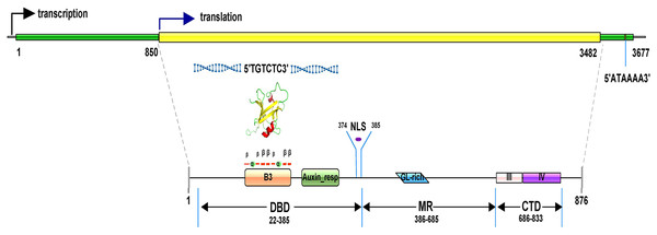 Gene and predicted protein structures of TcARF6.