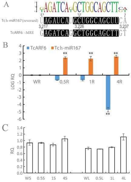 Salt-stress responses of TcARF6/tch-miR167 in Tamarix chinensis.