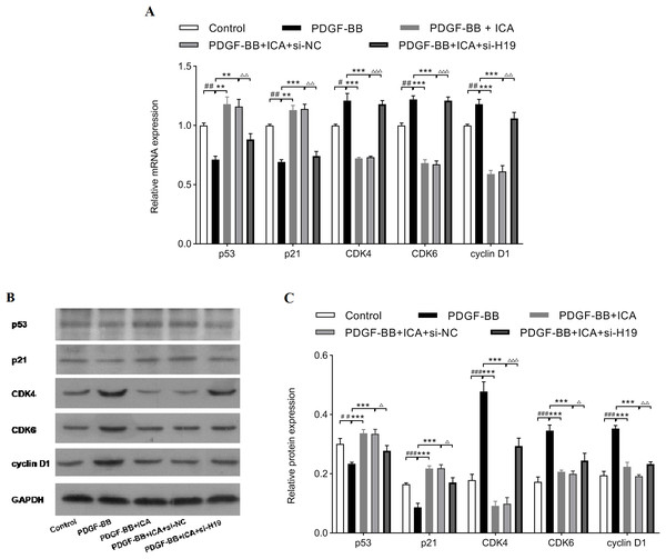 Down-expression of H19 reversed ICA-induced changes in cell cycle-related factors expression.
