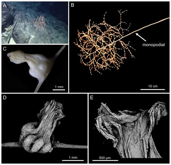The external morphology and polyps of  Chrysogorgia dendritica sp. nov.