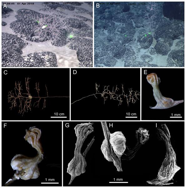 The external morphology and polyps of  Chrysogorgia fragilis sp. nov.
