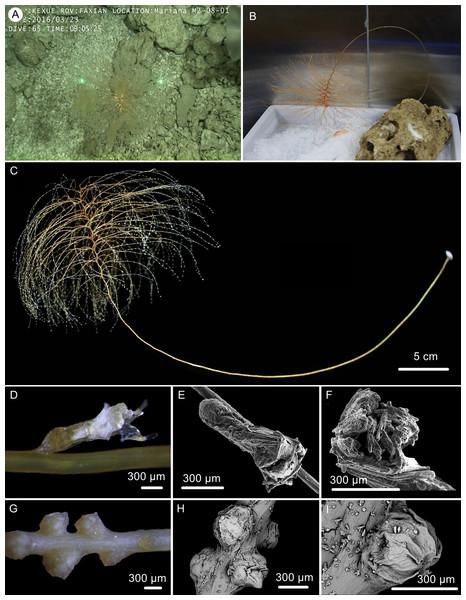 The external morphology and polyps of the holotype of Chrysogorgia gracilis sp. nov.
