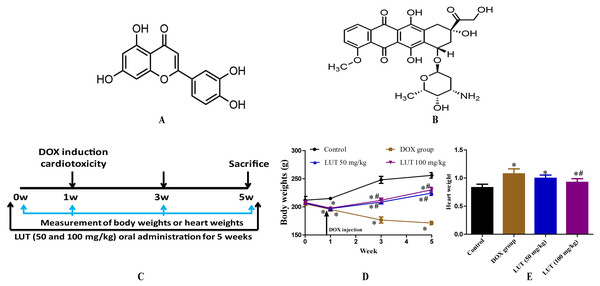 The experimental scheme and the effects of LUT on body weight and heart weight in DOX induced-cardiotoxicity model rats.