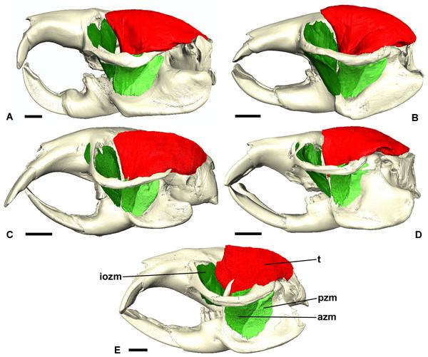 Temporalis and zygomaticomandibularis muscles of Bathyergidae.